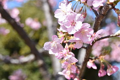 plum tree (tasukuito) Tags: plumtree ume japaneseapricot