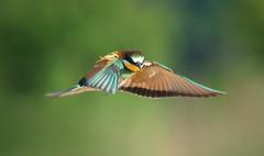 Un chasseur haut en couleur (mehdiapic) Tags: guêpier beeeater wasp guêpe vol flight nature wildlife capture