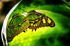 Zwei Malachit Schmetterlinge unterm Blatt (Roman Achrainer) Tags: schmetterling falter nachtfalter botanischergarten münchen ausstellung achrainer tiere insekten raupe