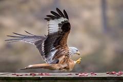 Grabbing Lunch (Ginger Snaps Photography) Tags: redkite red kite raptor birdofprey prey wild nature wildlife tollie highland scotland power force grab feeding