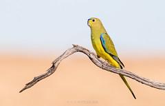 Elegant Parrot (chrissteeles) Tags: elegant elegantparrot parrot pengilly pengillyscrub roseworthy southaustralia sa