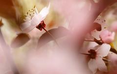 Blütenzauber /  floral magic (drummerwinger) Tags: rot makro blüten frühling spring canon700d sigma pflanzen kelch sommer outdoor