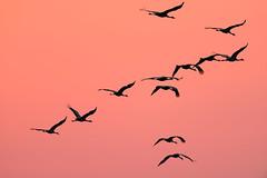 Comming home (derliebewolf) Tags: kraniche vögel wildlife trebbin brandenburg deutschland de nature crane cranes commoncrane birds birding sunset goldenhour bif grusgrus germany travel d800 spring fall autumn migration