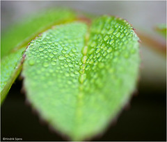 The Beauty of Drizzle (Hindrik S) Tags: leaf blêd blatt blad drip drup drop fallen rain rein regen macro tamronspaf90mmf28dimacro tamron sonyphotographing sony sonyalpha a57 α57 57 closeup