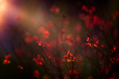 Light my Fire (hploeckl) Tags: pentacon projection vintage nikon red bush spring bokeh sunset abstract artistic diaplan trioplan