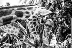 'Raffies Getting a Feed (Leighton Wallis) Tags: sony alpha a7r mirrorless ilce7r 55210mmf4563 emount sydney mosman nsw newsouthwales australia giraffe tarongazoo park feedingtime