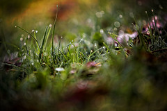 100 - Vaporous Morning (- cornuspixels -) Tags: water drops green grass fallen leaf canon eos 6d horizontal spring closeup