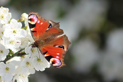 Io butterfly (ekaterina alexander) Tags: io butterfly aglais colourful red blue peacock spring bloom blossom ekaterina england alexander sussex nature photography pictures tree flower flowers