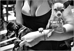 It's a Dog's Life (Steve Lundqvist) Tags: hund people love bianco nero persone monocromo dog chien bw cane woman seno breast bust blackandwhite monochrome double pair swimsuit closeup chihuahua tit tits bosom breasts chest curve titty boob pinscher boobs seni petto puppy puppies