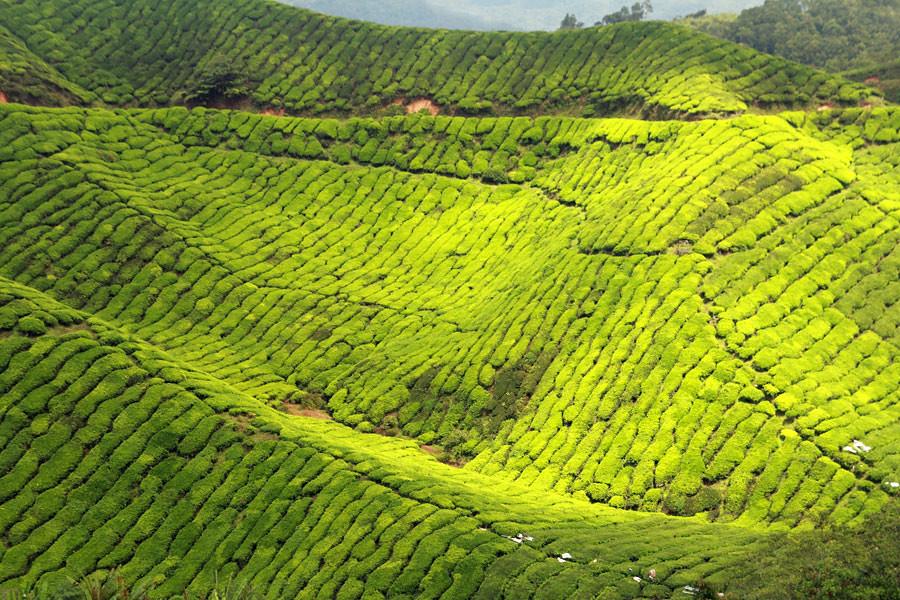 Beautiful green tea plantations landscape in Sri Lanka