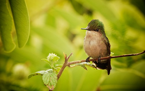 Antillean Crested Hummingbird (female)