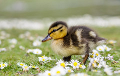 Stepping Out (shaftina©tion) Tags: anas anasplatyrhynchos duck duckling ducklings mallard mallardduck platyrhynchos avian baby bird cute dabbling daisies daisy feathers flower fluffy profile shaftinactioncom side sideview view white wildduck wildfowl yellow young