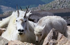 Mother & Child (Patricia Henschen) Tags: mountaingoat goat kid mountevans mountains mountain scenicbyway mtevansscenicbyway mtevans rocky colorado idahospringscolorado idahosprings