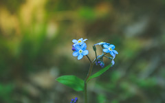 flower-9765 (EB_Creation) Tags: forgetmenots or scorpion grasses boraginaceae nikon d7100 dof depthoffield bokeh macro nikond7100 nature nice green outdoor outside beautiful amateur amazing lost memory card random freedom flowers change summery 2017 gold blue camera lens digital