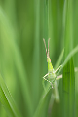 Grasshopper (mi_ta) Tags: canoneos6d macro sigmaapomacro180mmf28exdgoshsm green grasshopper grass