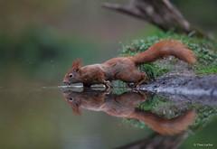 Eekhoorn - Red squirrel - Sciurus vulgaris  -5564 (Theo Locher) Tags: eekhoorn redsquirrel sciurusvulgaris zoogdieren mammals netherlands nederland copyrighttheolocher ecureuilroux eichhoernchen säugetiere mammifères