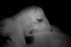 COMO ENTRE ALGODÓN (ROGE gonzalez ALIAGA) Tags: blancoynegro animales cordero nikon d5000 brightness brillo negro black sombras shadow