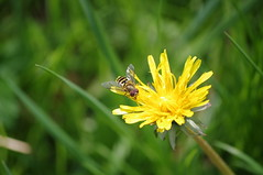 Schwebfliege / Hoverfly (Mado46) Tags: bxl06 mado46 germany deutschland nrw blume flower insect insekt schwebfliege hoverfly