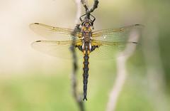 Epitheca bimaculata (Lars L. Iversen) Tags: