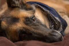 Ready for bed (CookiesForDevo) Tags: bed black color soft domestic closeup germanshepherddog sleeping young canine brown background shepherd animal german germanshepherd looking gsd indoor beautiful pet cute beige dog breed pretty comfortable cross happy white
