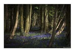 Leigh Woods (zolaczakl) Tags: bristol leighwoods bluebells trees woodland spring wildflowers lightshadow nikond7100 nikonafsnikkor24120mmf4gedvrlens uk southwest nature 2017 april