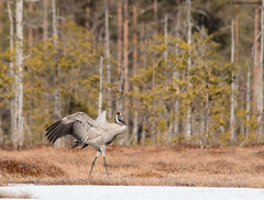The crane dance (uusija) Tags: crane grusgrus bird kurki linnut luonto nature