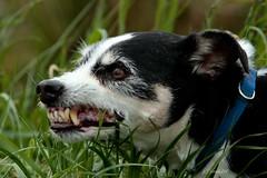 KOOS  - Jackrussellterriër  14 years old (K.Verhulst) Tags: dog jackrussellterriër hond koos pet huisdier jackrussell terriër ommoordseveld