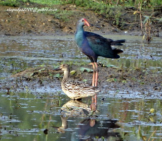 DSC03547 Garganey (Anas querquedula)& Grey-headed Swamphen (Porphyrio poliocephalus)