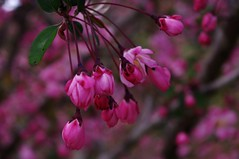 桜 (osaru4hie5) Tags: flower japan pentax tokyo 花 pentaxkr 桜 青梅 pentaxart ピンク