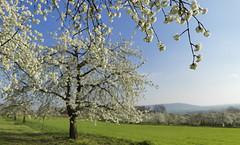 Cherry blossom at Walberla N°4 (Bernhard_Thum) Tags: bernhardthum thum h6d100 nature franken cherryblossom kirschblüte walberla frühjahr spring hcd3550 capturenature elitephotography landscapesdreams