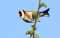 Goldfinch - In the spring sunshine (glostopcat) Tags: goldfinch finch bird songbird spring glos