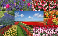 Parc floral Keukenhof - Avril 2017 (mamietherese1) Tags: saariysqualitypictures world100f phvalue earthmarvels50earthfaves nature itsallaboutflowers