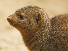 Dwarf Mongoose (dennisgg2002) Tags: bronx zoo new york city ny nyc