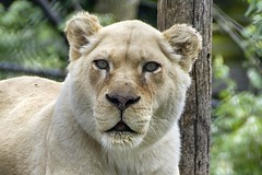 white lioness (ucumari photography) Tags: ucumariphotography cincinnati ohio april 2017 whitelion lioness animal mammal cincinnatizoo dsc1754 specanimal