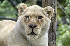 white lioness (ucumari photography) Tags: ucumariphotography cincinnati ohio april 2017 whitelion lioness animal mammal cincinnatizoo dsc1754 specanimal