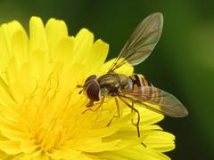 Marmalade Hoverfly (treegrow) Tags: spain lifeonearth nature raynoxdcr250 arthropoda canonpowershotsx40hs insect diptera fly syrphidae episyrphusbalteatus taxonomy:binomial=episyrphusbalteatus