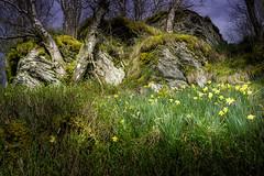 DSC4732 (ste.wi) Tags: perlenbachtal eifel germany nrw green nature outdoor deutschland springtime frühling wald sony ilce6000 alpha6000 1650mmf3556oss daffodil osterglocke narzisse