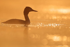 Great crested grebe (Mike Mckenzie8) Tags: podiceps cristatus british uk wild wildlife bird dawn sunrise lake mist bokeh reflection canon outdoor