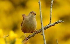 Wren (Troglodytes troglodytes) (Nick Dobbs) Tags: wren troglodytes bird coastal woodland heath heathland gorse troglodytidae songbird