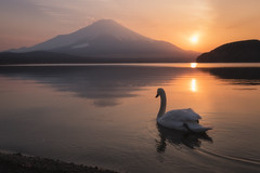 On My Way Home (Yuga Kurita) Tags: fuji mount mt fujisan fujiyama japan swan landscape nature bird animal water sunset reflection nikon sigma art