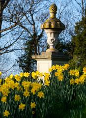 Bodysgallen Hall (alh1) Tags: bodysgallenhall historichouseshotels nationaltrust northwales cymru wales daffodils narcissi urn