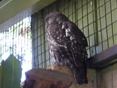 P1030676 (gordonduffus) Tags: barkingowl