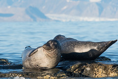 Harbor seals (tomaszberlin) Tags: seal harbor mammal arctic svalbard