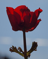 2017_04_0168 (petermit2) Tags: poppyanemone anemonedecaen anemone garden rotherham southyorkshire yorkshire backlit