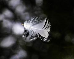 White Hawk Down (Steve Taylor (Photography)) Tags: feather black green white contrast newzealand nz southisland canterbury christchurch reflection water lake bird closeup macro
