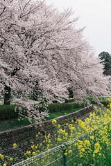 170410_047_5D3_5628 (oda.shinsuke) Tags: cherryblossom さくら 桜 flower vsco 見沼 菜の花