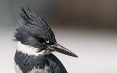 Kingfisher (mjeedelbr) Tags: kingfisher