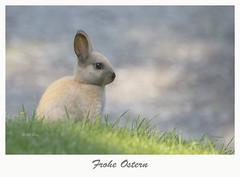 Happy Easter / Frohe Ostern (Henry der Mops) Tags: mg8161 froheostern hase kaninchen gras green grün wiese natur rabbit bunny happyeaster joyeusespâques feliĉaeaster godpåske hyvääpääsiäistä καλόπάσχα pascuafeliz canoneos6d canonlens100400mm mplez henrydermops
