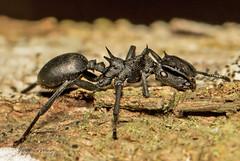 Giant Turtle Ant - Cephalotes atratus (J Centavo) Tags: giant turtle ant cephalotes atratus