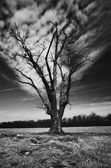The Dead Tree Where We Used To Meet (L. Paul) Tags: pentax pentaxk1000 k1000 pentaxm28mmf28 28mm f28 film ilford ilfordxp2400 xp2super400 xp2 35mm shootfilm grain deadtree tree blackandwhite